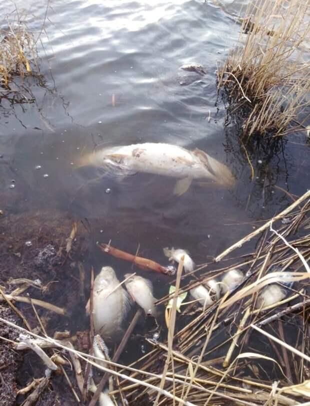 Прокуратура выясняет причину гибели рыбы в кузбасском озере