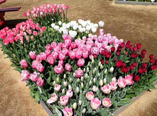Многолетний садовый цветок Тюльпан (Tulipa)