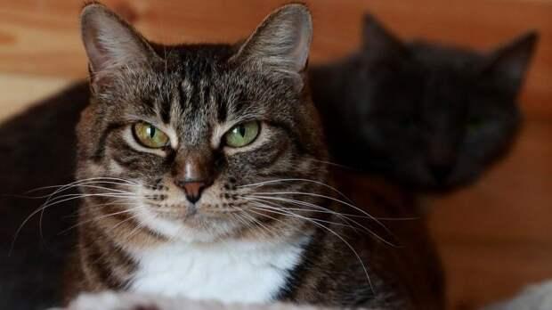 Куклачев объяснил, почему кошки обожают лежать наполу ихватать людей заноги