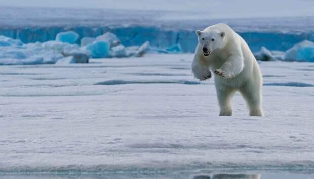 Белый медведь охотится подкрадываясь