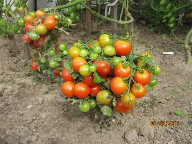 Мини-огород на подоконнике: лучшие сорта комнатных томатов