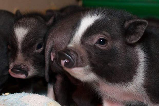 Свинка Софи из приюта оказалась идеальной фотомоделью