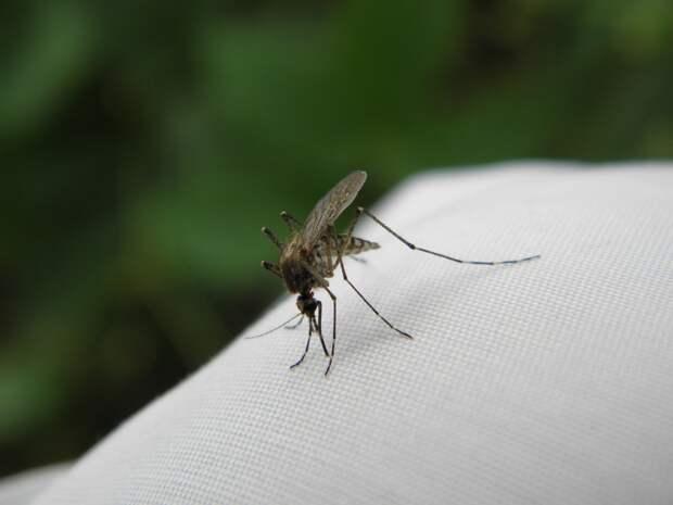 Биолог оценил вероятность «комариного пика» в Москве