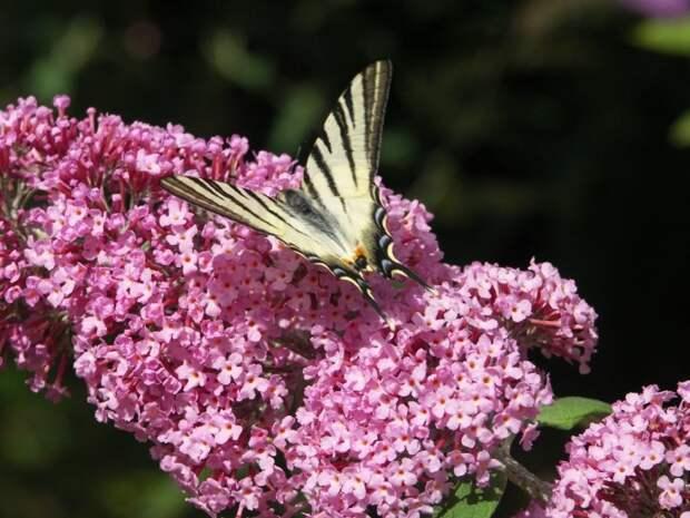 Буддлея Давида Пинк Делайт (pink delight)