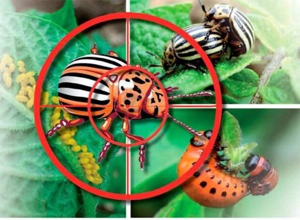 58 способов борьбы с колорадским жуком