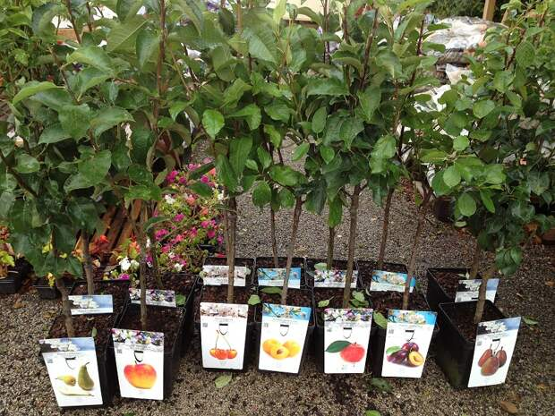 Картинки по запросу саженцы плодовых деревьев