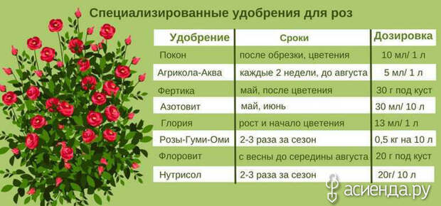 График подкормки роз