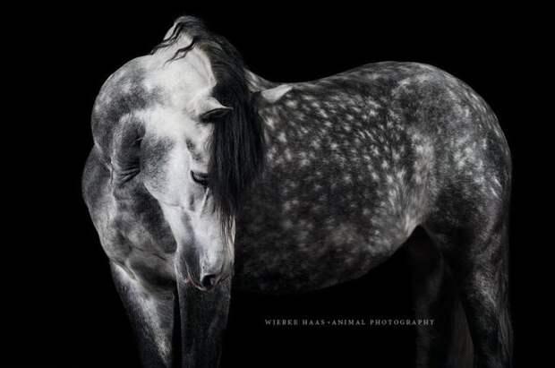 Пятнистая серая животные, искусство, лошади, фотография