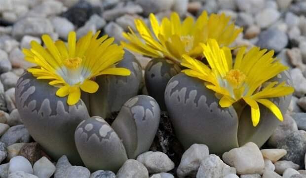 крошечное растение Литопс