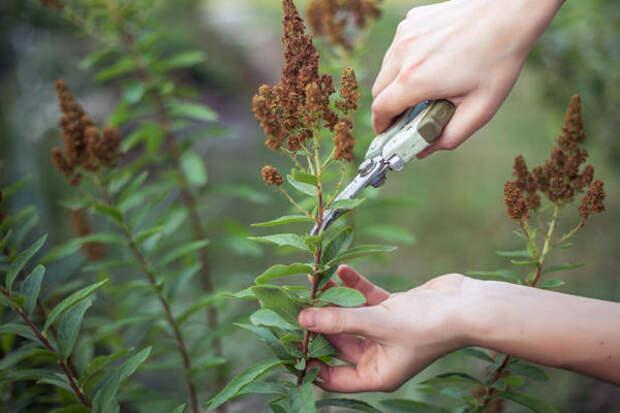 Используйте для обрезки ножницы или секатор