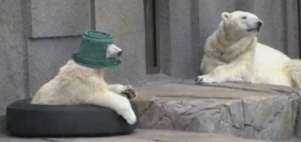 Белый медведь нашел себе игрушку - практически рыцарский шлем животные, факты