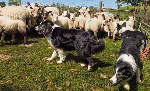 Упрямый ягненок решил не подчиняться овчарке пастуха и вышел на защиту стада