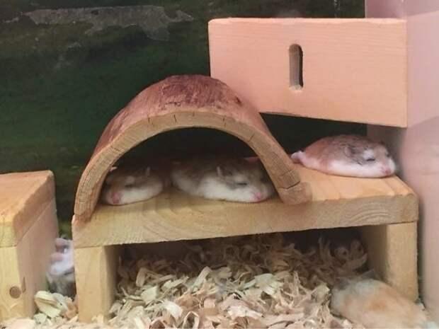 Расслабленные хомяки животные, расслабленность, смешно, фото