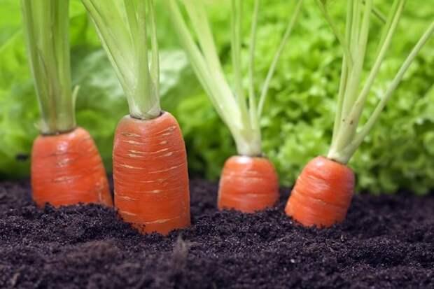 Как получать морковь с грядки круглый год