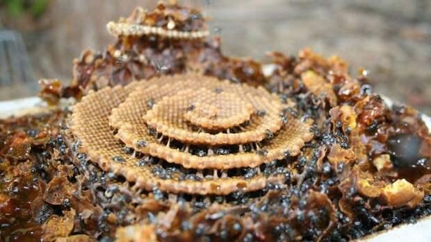 Необычные пчелы, которые строят сверхэффективные спиральные соты