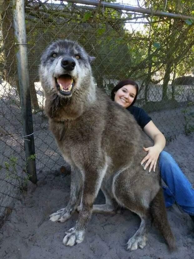 Эти 8 собак еще не поняли, насколько они большие. Им нравится сидеть на ручках