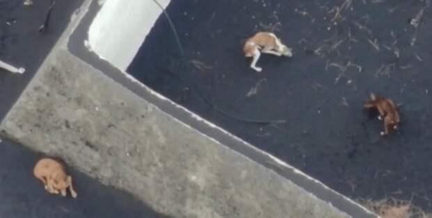 Собак, застрявших на Канарских островах после извержения вулкана, эвакуируют