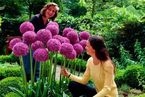 выращивание декоративного чеснока
