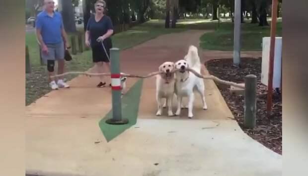 Две головы лучше: собаки показали, как важно решать сложную задачу сообща