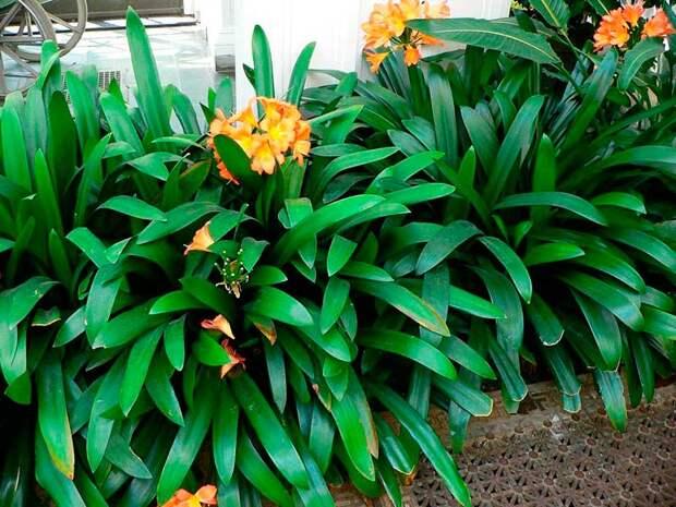 Комнатное растение Кливия (Clivia)