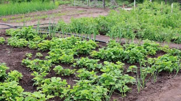 Автор книг по садоводству поделилась опытом борьбы с сорняками на огороде