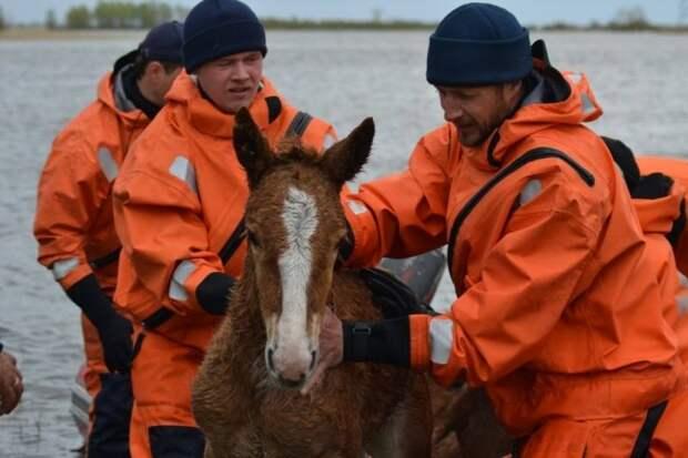 В Тюменской области спасатели вызволили из водного плена табун лошадей