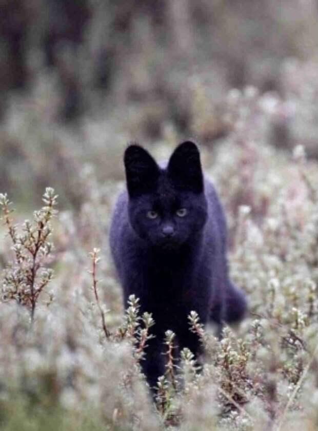 Когда чёрный цвет к лицу! ;) Загадка необыкновенных животных с тёмным окрасом…