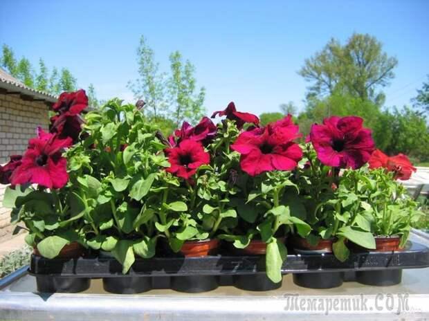Рассада цветов в феврале и начале марта: что сажать