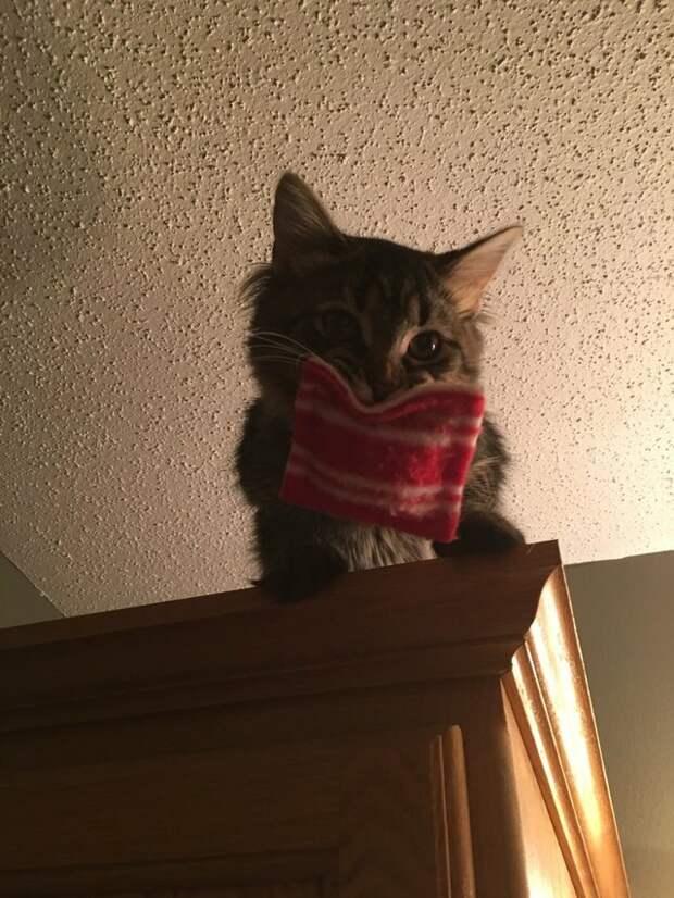 С подушечкой на шкафу. Источник фото: http://ogogolmogol.ru/koshka-i-podarok-ot-veterinara/