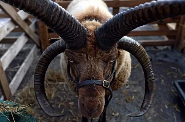 Мэнский Лохтан: Селекция от дьявола, или как целую породу баранов превратили в «демонов из ада» (5 фото)