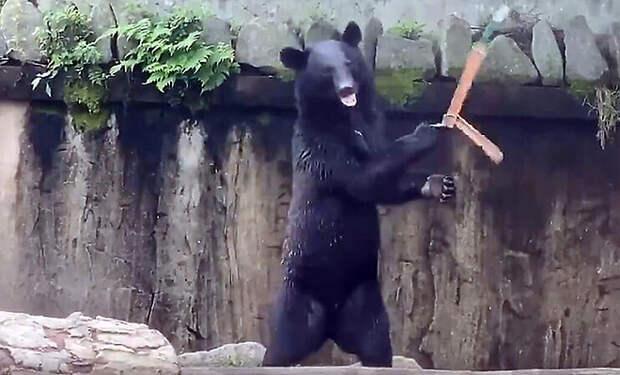 Медведь нашел на земле нунчаки и стал показывать приемы из кино: видео