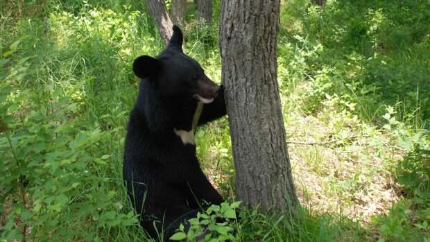 Гималайский медведь обитает в лесу
