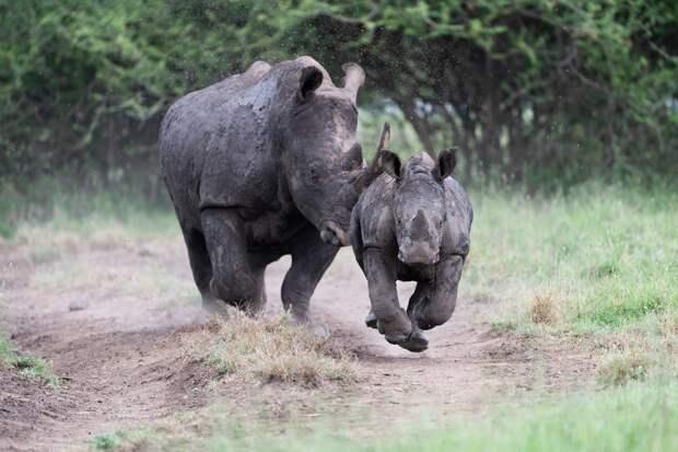 Разъяренный носорог бросился прямо на фотографа