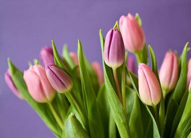 В Дмитровском районе высадят 84 тысячи тюльпанов