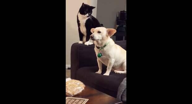 Бить или не бить: кот очень долго размышлял не стукнуть ли собаку – забавное видео