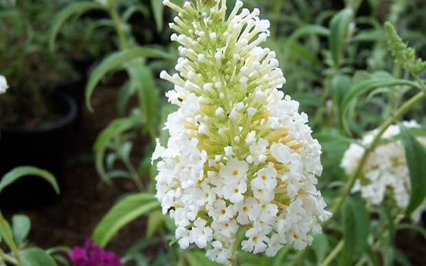Цветок буддлея Давида White Profusion
