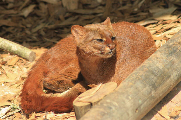 jaguarundis1