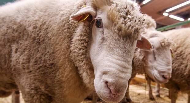 В Эстонии овец хотят использовать для