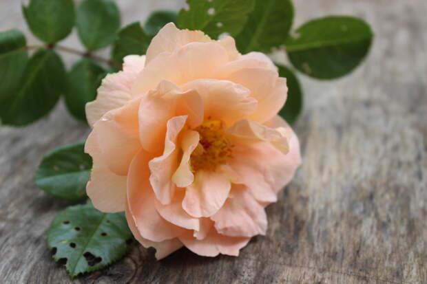Уход за розами: 5 важных дел в августе
