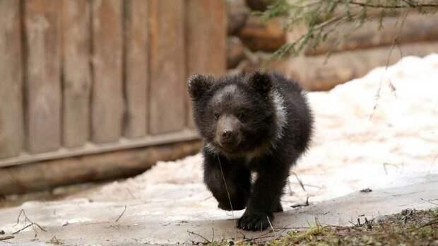 Когда медвежата выбились из сил на середине озера, медведица растерялась и поплыла к берегу. Зато не растерялись местные рыбаки