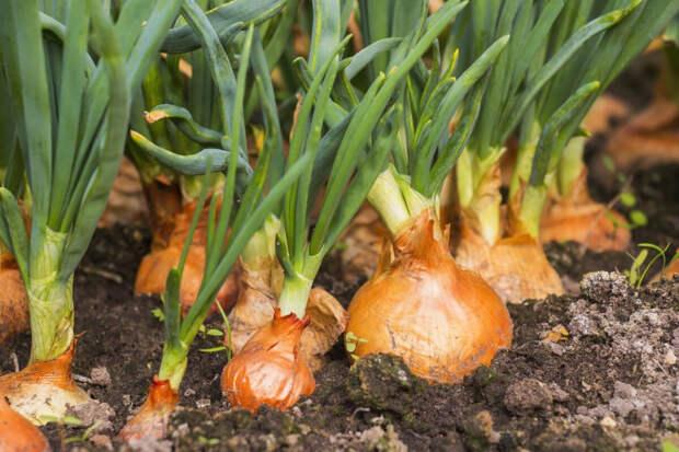 Какие растения помогут бороться с вредителями