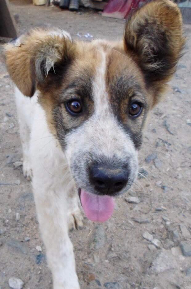 Щеночек без хвоста храбро давал отпор взрослым собакам вольер, приют, собака, щенок