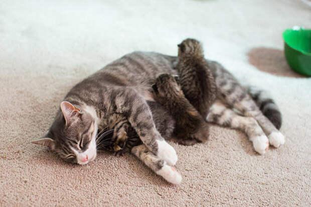 Потерявшая котят кошка стала приемной матерью для трех сироток