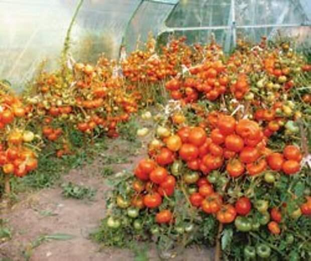 Северные помидоры