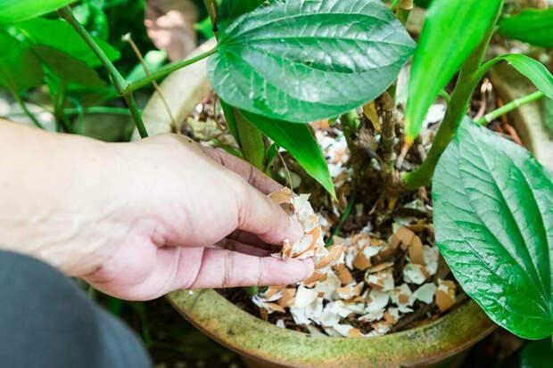 Применяем яичную скорлупу как удобрение для садовых, огородных и комнатных культур
