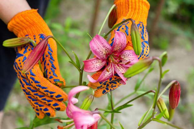Какой уход нужен лилиям после цветения