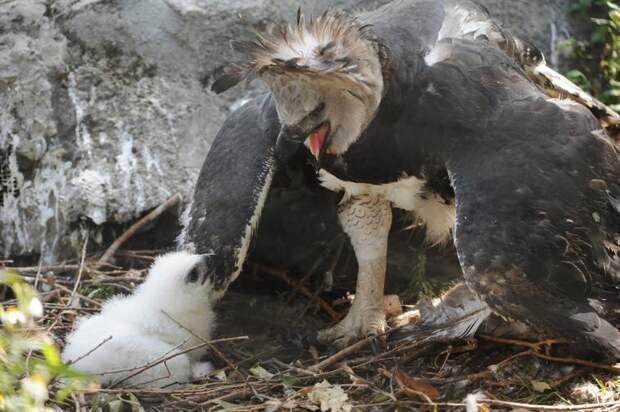 Южноамериканская гарпия— птица, всуществование которой трудно поверить