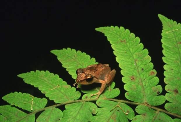 Коки (лат. Eleutherodactylus coqui)