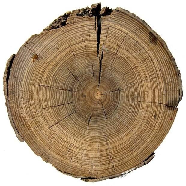 Как узнать, сколько дереву лет?