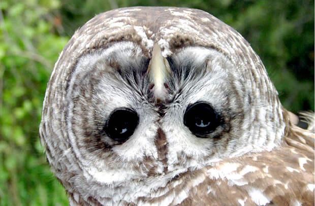 Как совам удается поворачивать голову на 270°?